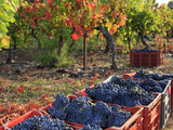 Vendanges 2012 : faibles récoltes en Europe