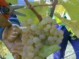 Dates des Vendanges 2017 en Alsace